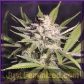 Reserva Privada Silver Bubble feminized cannabis seeds Best Price